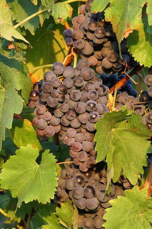 Weinbau Meyer