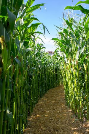 Maislabyrinth auf dem Erlebsnisbauernhof