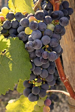 Weinbau am Tannberg